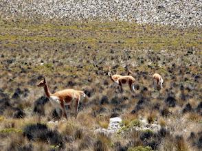 Photo: Vikunjas auf den Naturweiden oberhalb 3800 m