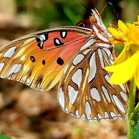 Gulf Fritillary Butterfly by Anne LiConti - Animals Insects & Spiders ( #butterflies #butterfly #nature #naturephotography #butterflygarden, #photography #garden #gardenfriends #, #spacecoastscenes #tthebutterflygardener #insects #gulffritillary, #insects #butterflyeffect #spacecoastscenes #thebutterflygardender, #ilovebutterflies #beautyofnature,  )