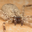 Wall Crab Spider