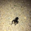 House Cricket