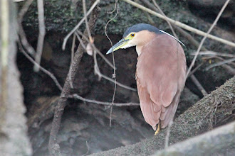 Photo: Rufous Night-Heron