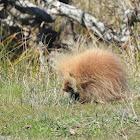 porcupine(leucistic)