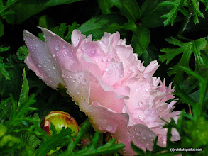 Photo: Peony at Gifford Woods State Park by Deb Gay