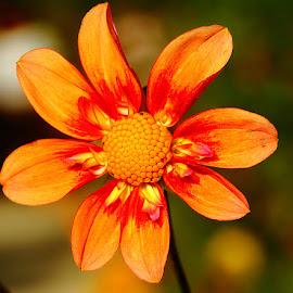 Dalhia n00060 by Gérard CHATENET - Flowers Single Flower