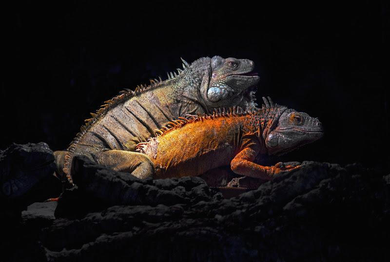 Iguana rosso di Marlak