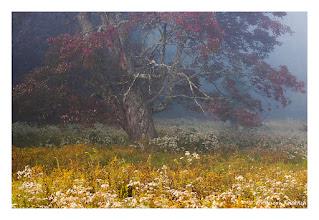 Photo: Old Autumn Maple, Canaan Valley, West Virginia