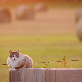 Cat at Sunset by Kendra Perry Koski - Animals - Cats Portraits ( 2017, clouds, tripp county, cat, warm, dakotawindsphoto.com, us, winner, south dakota, feral, sunset, summer, july, golden hour, dakota winds photography,  )