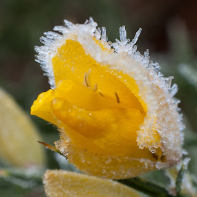 by Chloe Tatum - Nature Up Close Flowers - 2011-2013 ( cold, gorse, frost, yellow, flower )