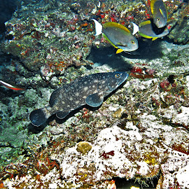 by Phil Bear - Animals Fish ( grouper, reef, coral, fish, coral reef, maldives )