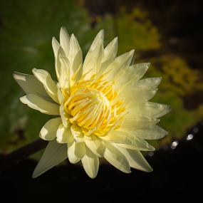 Yellow Waterlily by Jane Helle - Nature Up Close Flowers - 2011-2013 ( plant, waterlily, nature, flower )