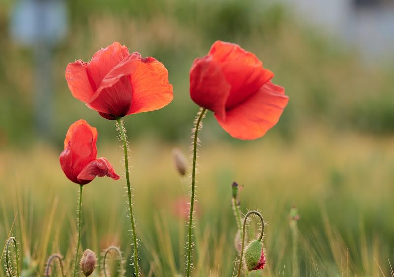 Poppies di iSimo