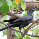 Slender-billed crow