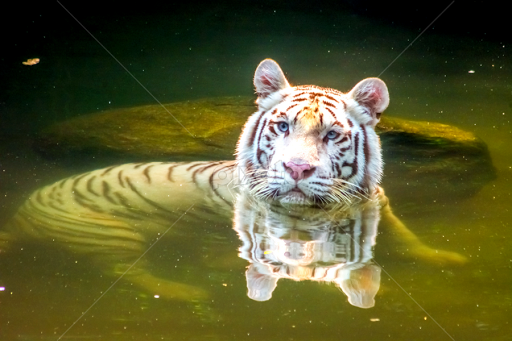 are white tigers in danger