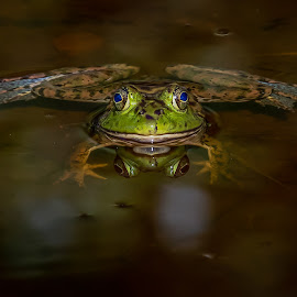 Old Blue eyes by Don Young - Animals Amphibians ( frog, reflection, nature, nature up close, blue eyes,  )