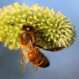 Honey Bee by Chrissie Barrow - Animals Insects & Spiders ( honey bee, catkin, insect, animal, wild )