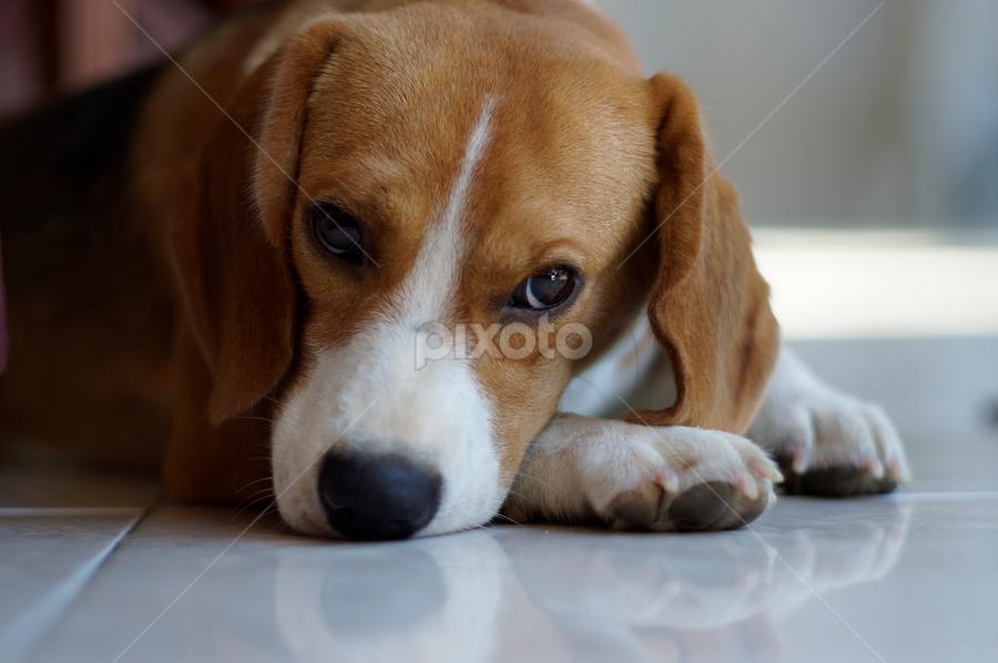 Desperate House Dog by Wijaya Kusuma - Animals - Dogs Portraits ( mirror, beagle, dog )