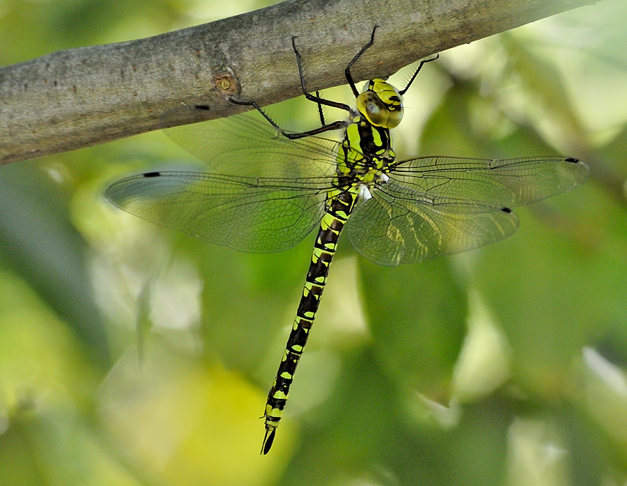 Southern Hawker by Ricardo Costa - Animals Insects & Spiders ( odonata, portugal, dragonflies,  )