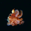 Octopus laqueus