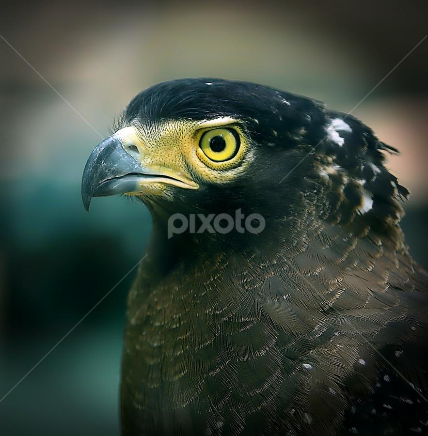 Eagle by Thảo Nguyễn Đắc - Animals Birds