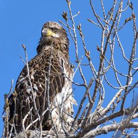 by Jodi Iverson - Animals Birds ( eagel,  )