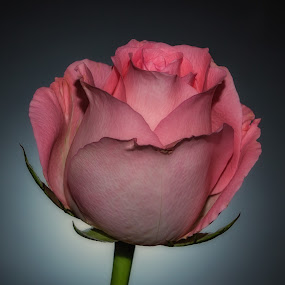 by Rose Roses - Nature Up Close Flowers - 2011-2013 (  )