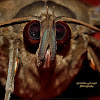 Indian Owl Moth