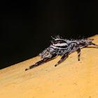 Pancorius crassipes 粗腳盤蛛