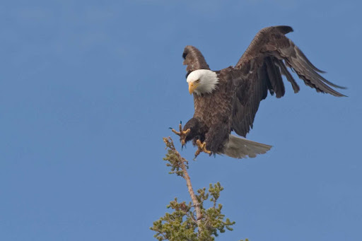 A protected eagle landing safely in Cape St. Mary's Ecological Reserve, Avalon, Newfoundland.