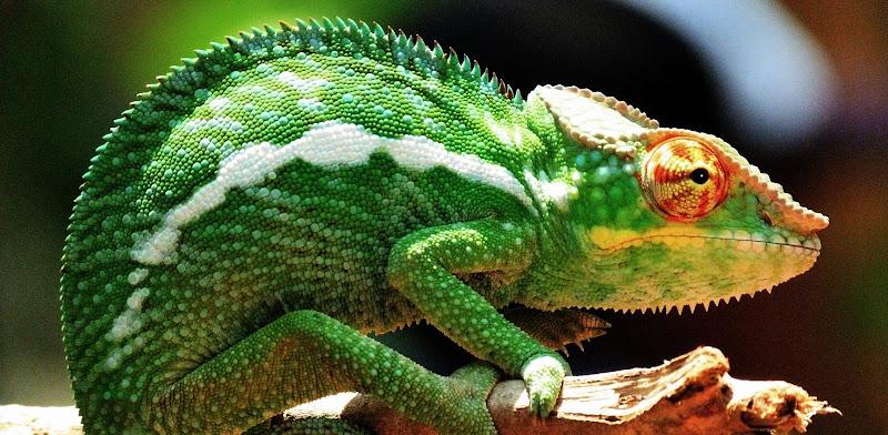green chameleon di Germano
