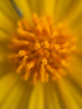 Photo: 15X macro of Golden Evening Primrose (Camissonia brevipes)  #deathvalley #superbloom2016