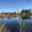 lake reed