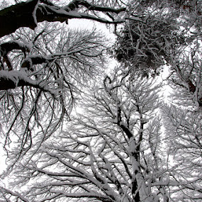 Branches with snow by Mark Denham - Landscapes Forests ( abstract, winter, b&w, snow, trees, branches )