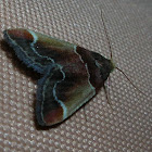 Meal Moth / Огневка мучная