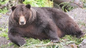 Bears on a Plane thumbnail