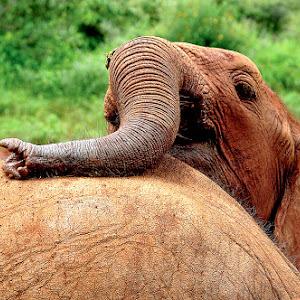 elephant_2@kenya.jpg