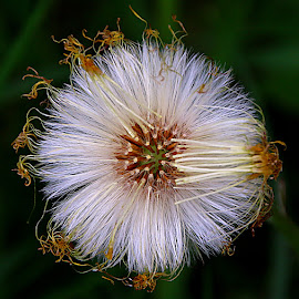 From Above by Chrissie Barrow - Nature Up Close Other plants ( plant, orange, circular, wild, coltsfoot, white, dark background, round, seeds, yellow, closeup, seedhead,  )