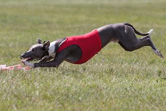 Photo: Coursing, Spitzerberg, Whippet