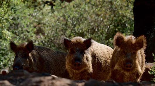 La caza del jabalí y cerdo asilvestrado por superpoblación se amplía a Almería