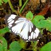 White tiger/marbled white moth