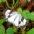 White tiger/marbled white moth