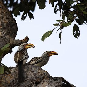 Yellow-hornbill  by Angie Birmingham - Animals Birds ( hornbill, bird, nature, wildlife, kruger )