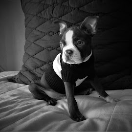 Boston Terrier Puppy by Raúl Corró - Animals - Dogs Puppies ( domestic animals, cute dog, puppy, monochrome, indoors, black and white, portrait, dog, cute )