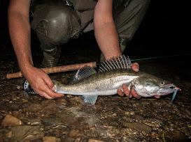 Бели риби на стример по Дунав
