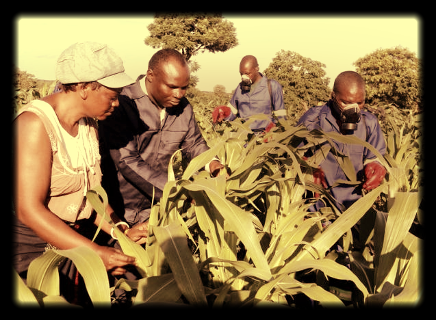 Small scale farmer Mutale Sikaona and agricultural officials examine maize plants affected by armyworms in Keembe district, Zambia. Picture: REUTERS, JEAN MANDELA