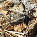 Spring Field Cricket