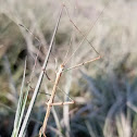 Prairie Walkingstick