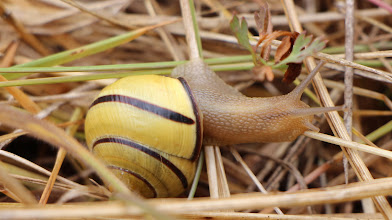 Photo: Gastropod. I hadn't seen snails up there before, but I sure saw a lot of this during this last trip!.