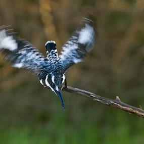 Speedy. by Hennie Cilliers - Animals Birds ( pied kingfisher., animal, motion, animals in motion, pwc76 )