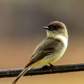 Eastern Phoebe by Jak Conrad - Novices Only Wildlife ( bird, wild, phoebe, wildlife, songbird )