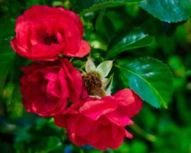 Photo: Roses on the Rose Kennedy Greenway, Boston, Massachusetts, USA